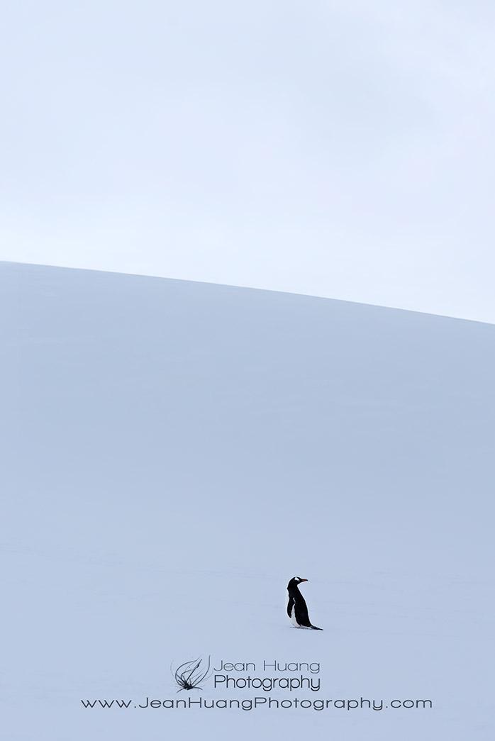 Lone-Gentoo-Penguin-Danco-Island-Antarctica-Copyright-Jean-Huang-Photography