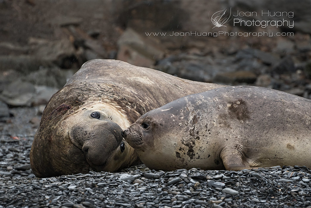 Couple-Love-Southern-Elephant-Seal-South-Georgia-Antarctica-Copyright-Jean-Huang-Photography