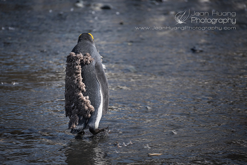 Lone-Molting-King-Penguin-Gold-Harbor-South-Georgia-Antarctica-Copyright-Jean-Huang-Photography
