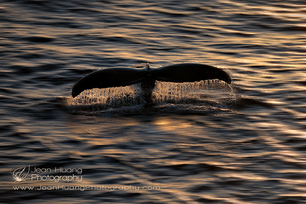 Humpback-Whale-Flukes-Antarctica-Copyright-Jean-Huang-Photography