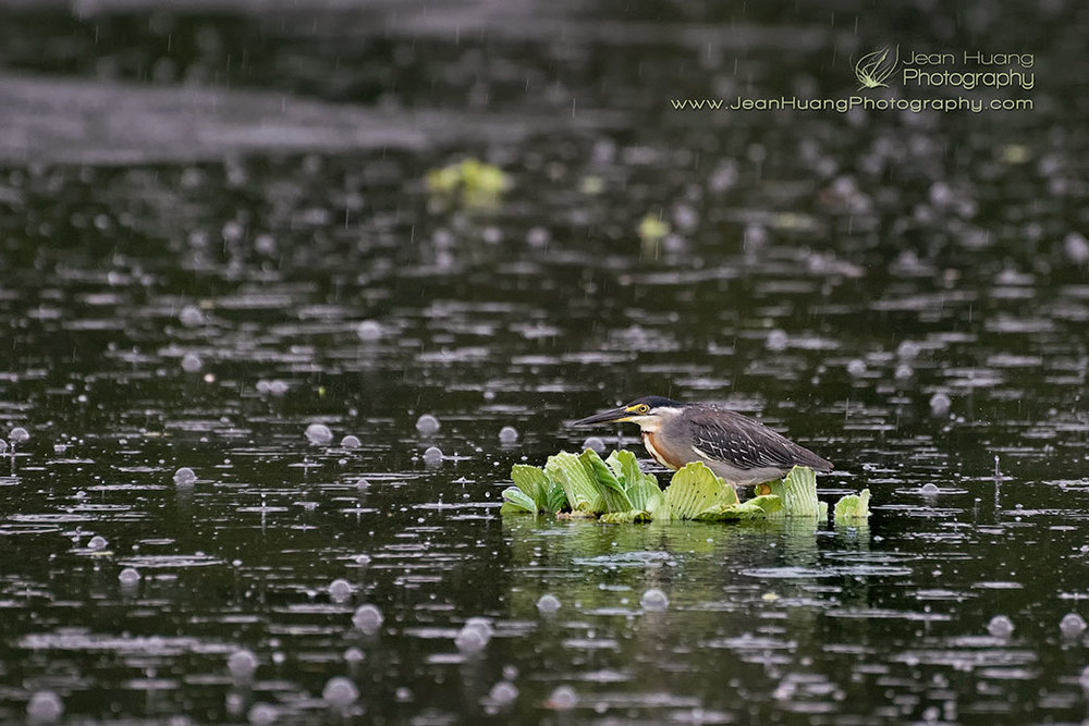 Striated-Heron-in-the-Rain-Pucate-Amazon-Peru-Copyright-Jean-Huang-Photography
