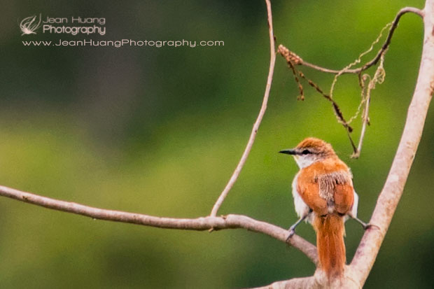 Brown-Streaked-Flycatcher-Standing-on-Two-Branches-Marayali-Creek-Amazon-Peru-Copyright-Jean-Huang-Photography