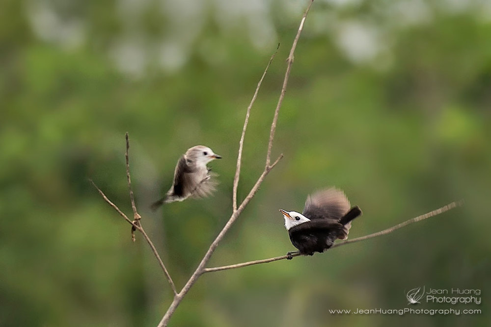 White-Headed-Marsh-Tyrant-Couple-Marayali-Creek-Amazon-Peru-Copyright-Jean-Huang-Photography