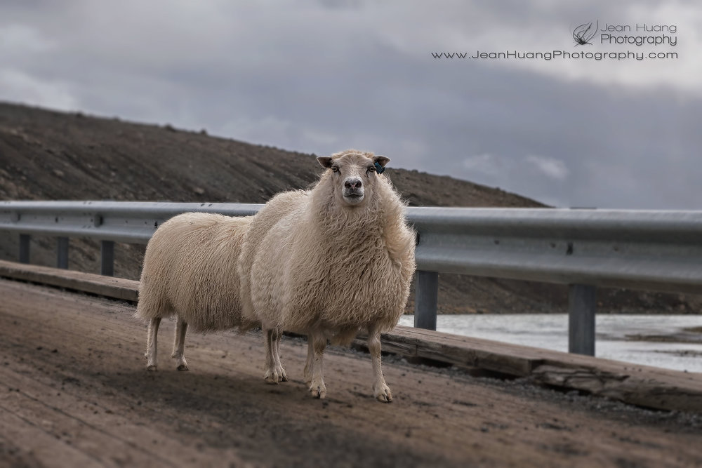 Extra-Long-Icelandic-Sheep-Iceland-Copyright-Jean-Huang-Photography