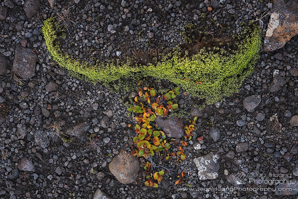 Arctic-Plant-En-route-to-Kerlingarfjoll-Iceland-Copyright-Jean-Huang-Photography-(2).jpg