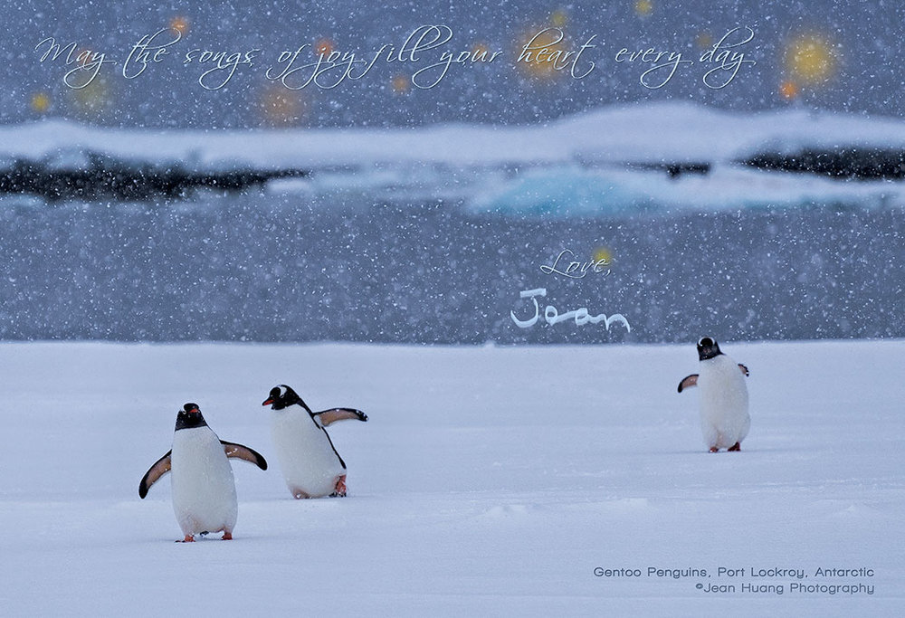 Holiday-Greetings-Gentoo-Penguins-Port-Lockroy-Antarctica-Copyright-Jean-Huang-Photography