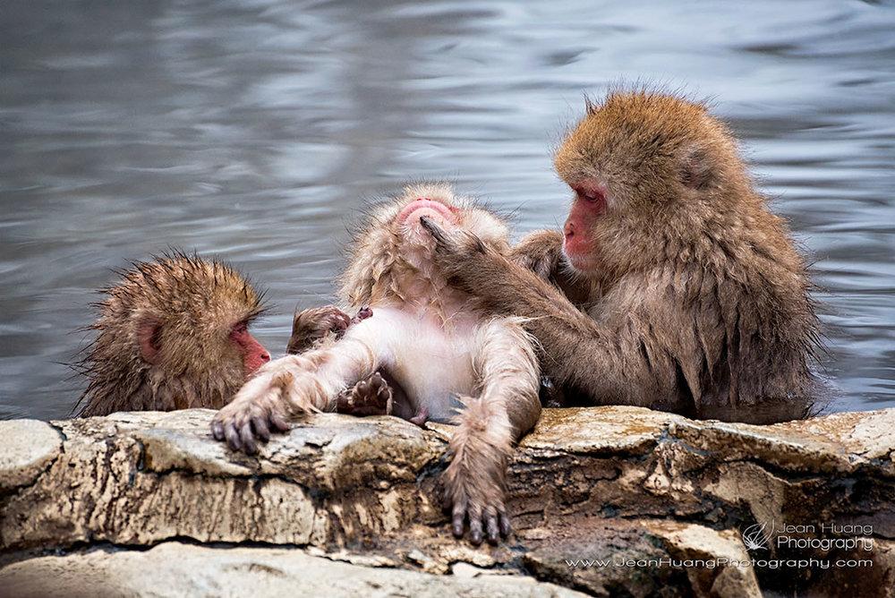 Macaque-Monkey-Spa-Treatment-Jigokudani-Snow-Monkey-Park-Japan-Copyright-Jean-Huang-Photography