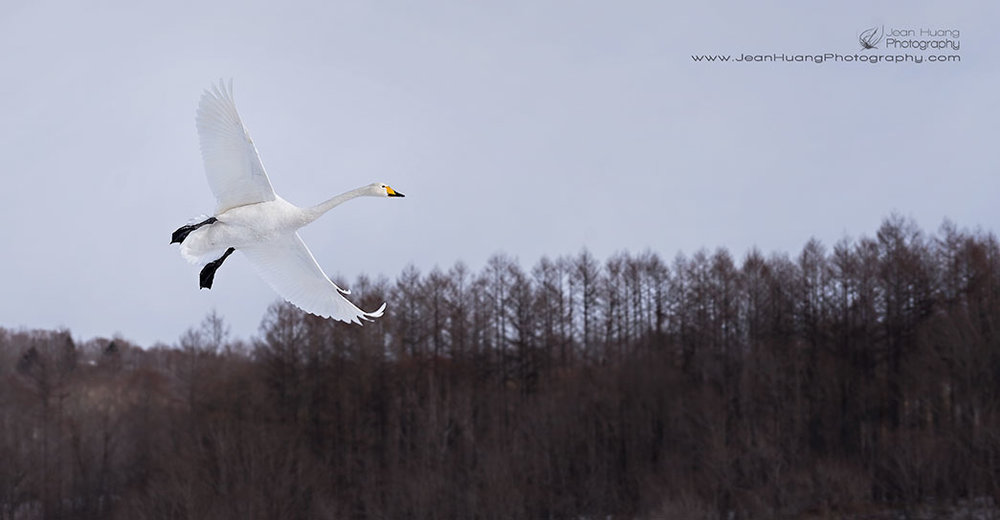 Whooper-Swan-Hokkaido-Japan-Copyright-Jean-Huang-Photography