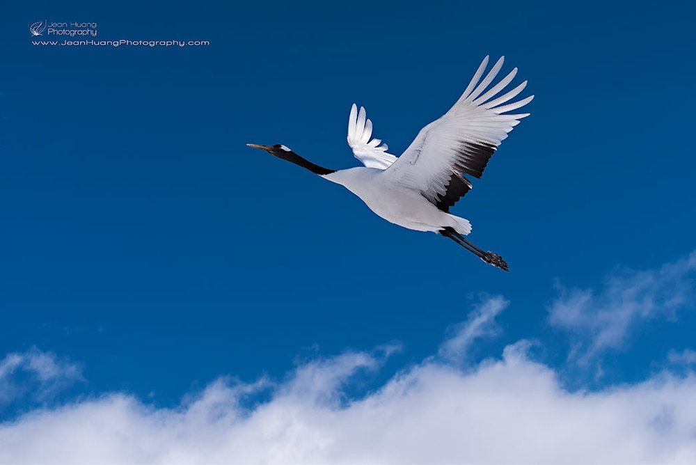 Red-Crowned-Crane-above-Clouds-Hokkaido-Japan-Copyright-Jean-Huang-Photography