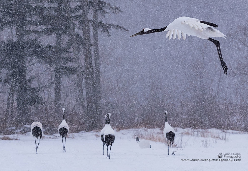 Red-Crowned-Crane-Landing-in-Snow-Kushiro-Hokkaido-Japan-Copyright-Jean-Huang-Photography
