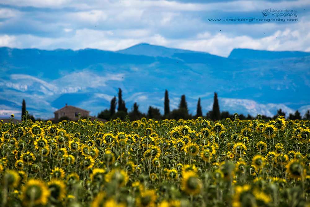 Sad-Sunflowers-Valensole-Provence-France-Copyright-Jean-Huang-Photography