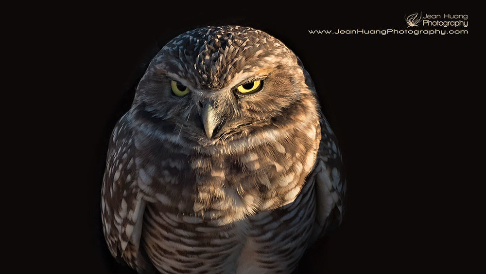 Burrowing Owl - ©Jean Huang Photography