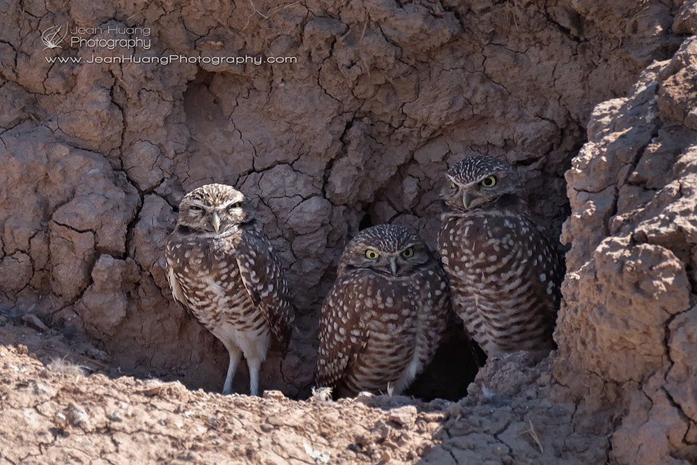 Burrowing-Owl-Family-Stare-Down-Salton-Sea-California-USA-Copyright-Jean-Huang-Photography
