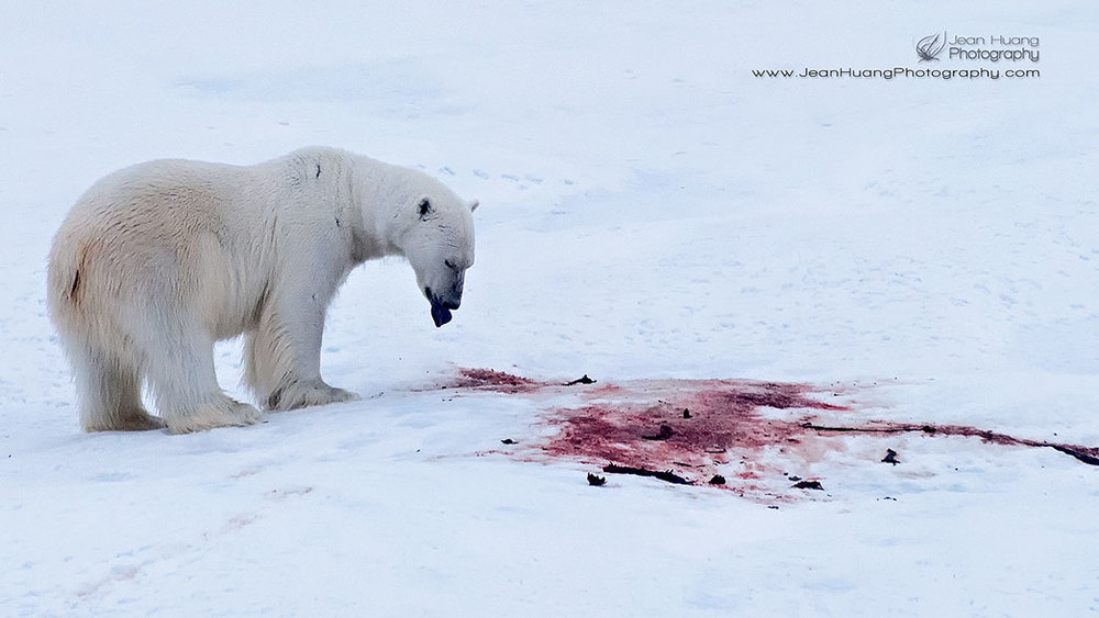 Polar-Bear-After-Meal-Hell-Gate-Ellesmere-Island-Nunavut-Canada-Copyright-Jean-Huang-Photography