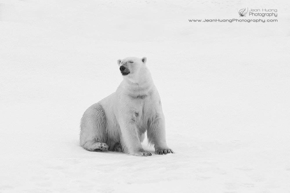 Sexy-Pose-Polar-Bear-Sitting-Hell-Gate-Canada-Copyright-Jean-Huang-Photography