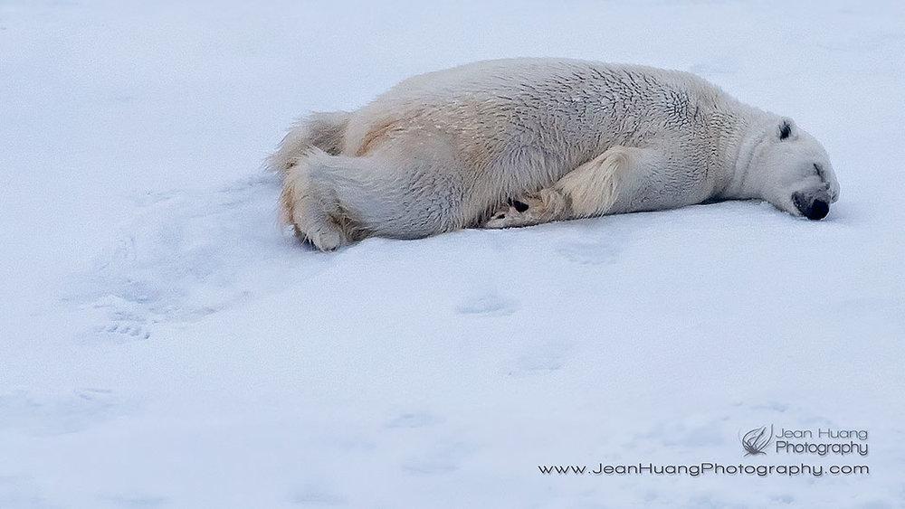 Sleepy Polar Bear -  ©Jean Huang Photography