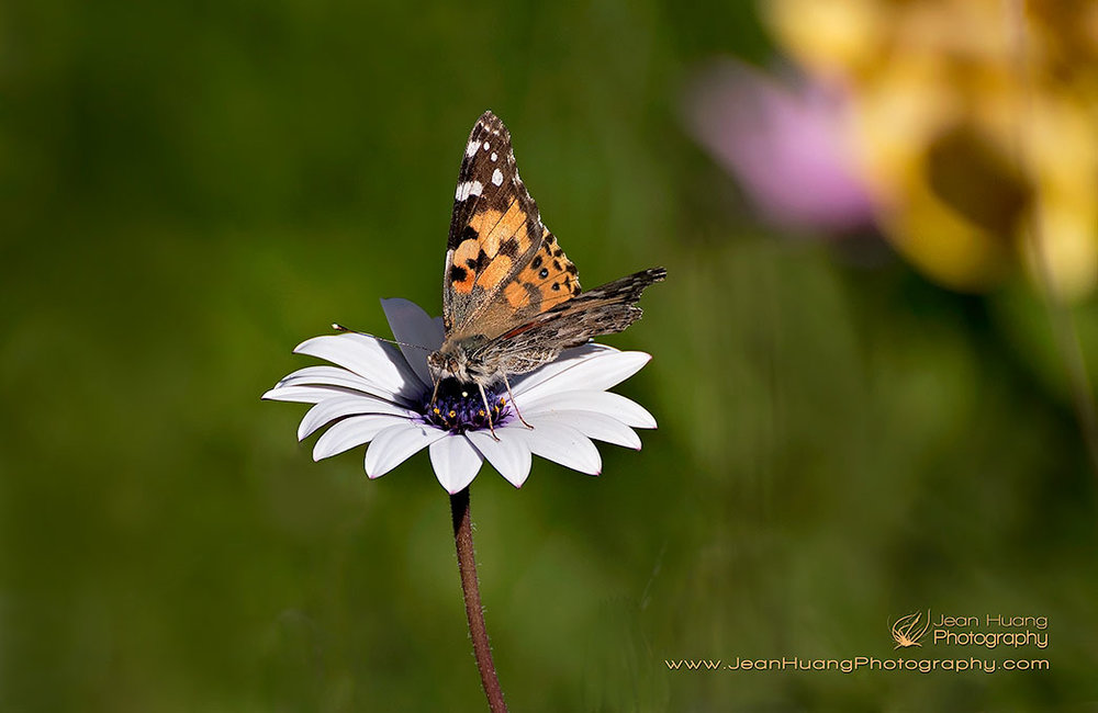 Painted-Lady-Butterfly-Migration-Southern-California-USA-Copyright-Jean-Huang-Photography-(2)