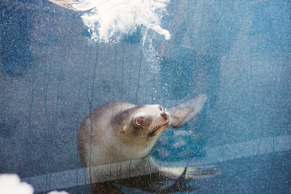 sea lion under water