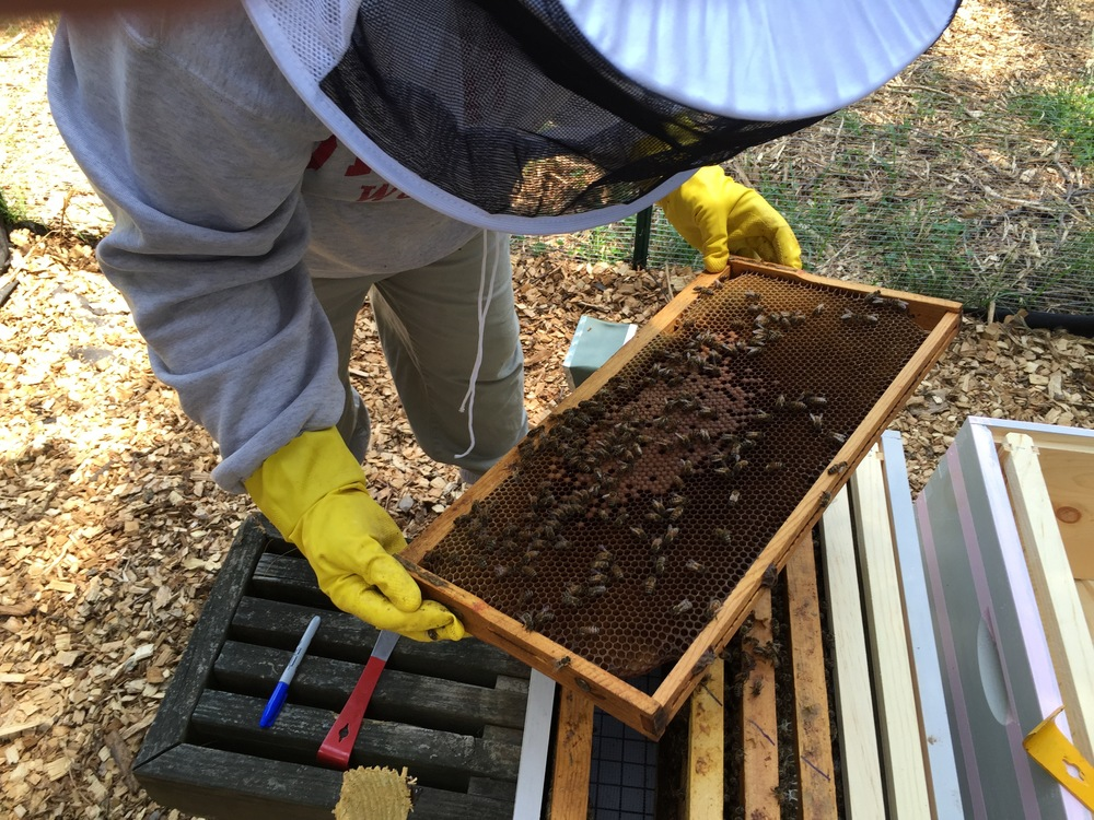 Jen inspects one of the nuc frames with quite a bit of capped brood. This hive should be growing much more quickly in the next couple weeks.
