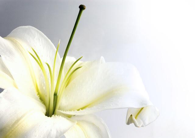 white_lily-3.jpg