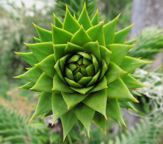 Araucaria-Arucana_670.jpg