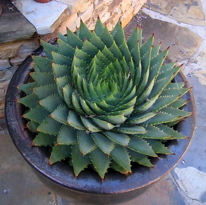 Spiraling-Succulent_670.jpg