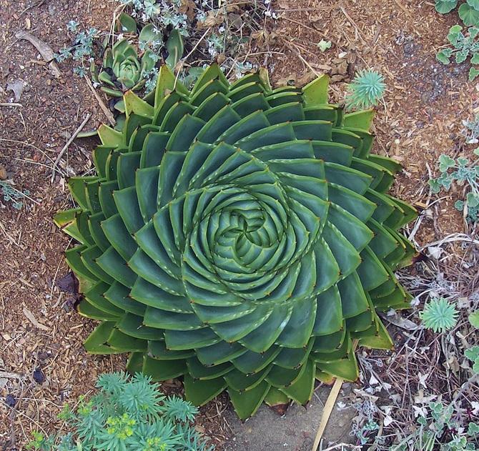 Aloe-Polyphylla_670.jpg