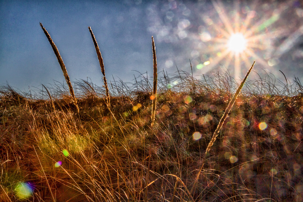 Dune Grass Plum Island, Massachusetts