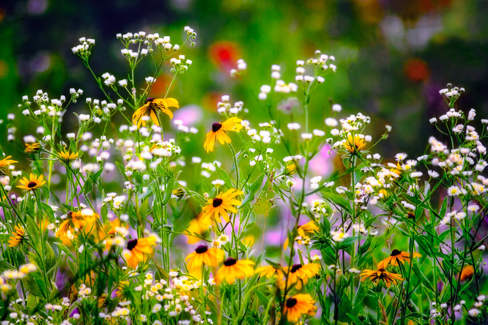 Field Flowers Bolton, Massachusetts