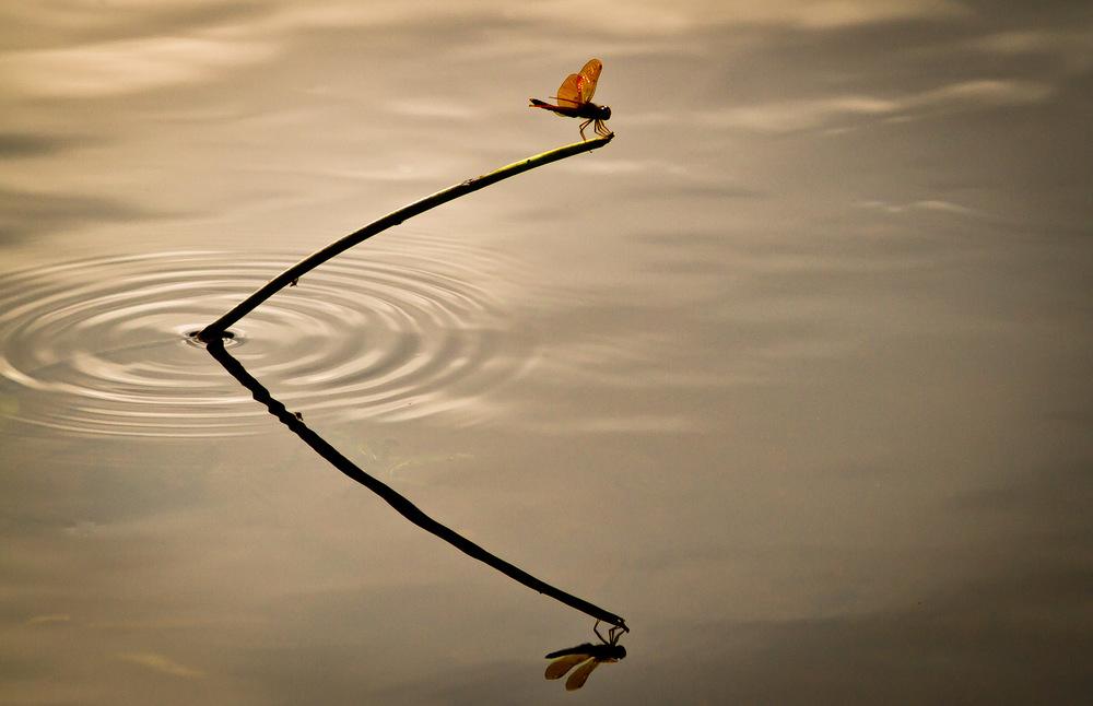 Dragonfly Reflected   Midfield, Massachusetts