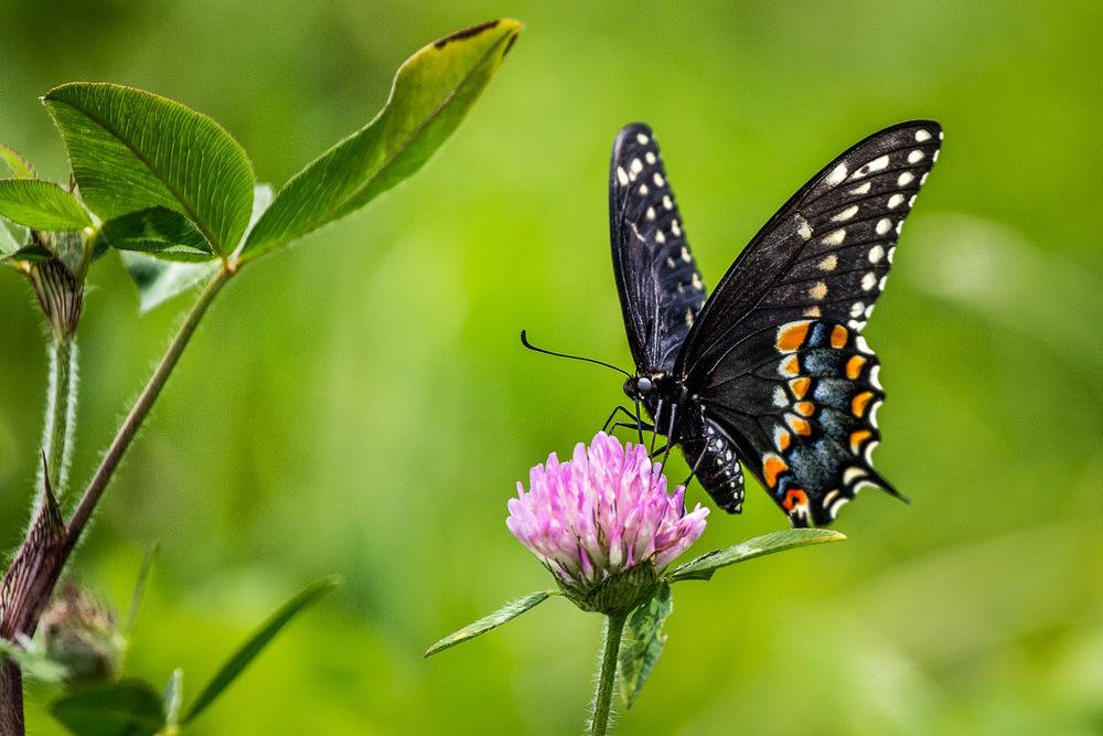 Swallowtail And Clover Sherborn, Massachusetts