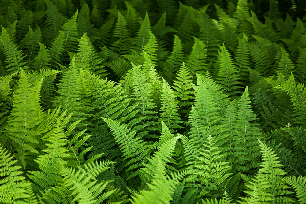 Forest Ferns Concord, Massachusetts