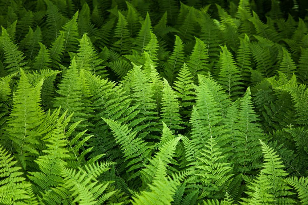 Forest Ferns Lincoln, Massachusetts