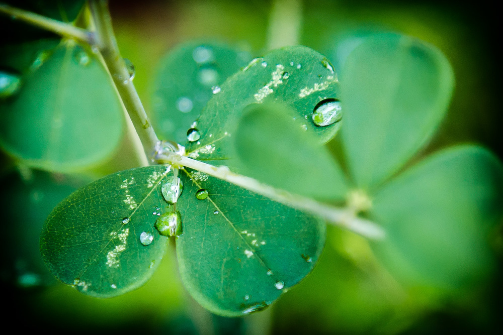 Three-Leaf-Clover-With-Water-Drops.jpg