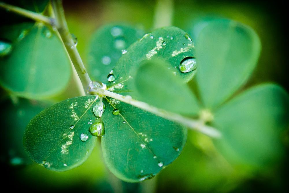 Dew On Clover Lincoln, Massachusetts
