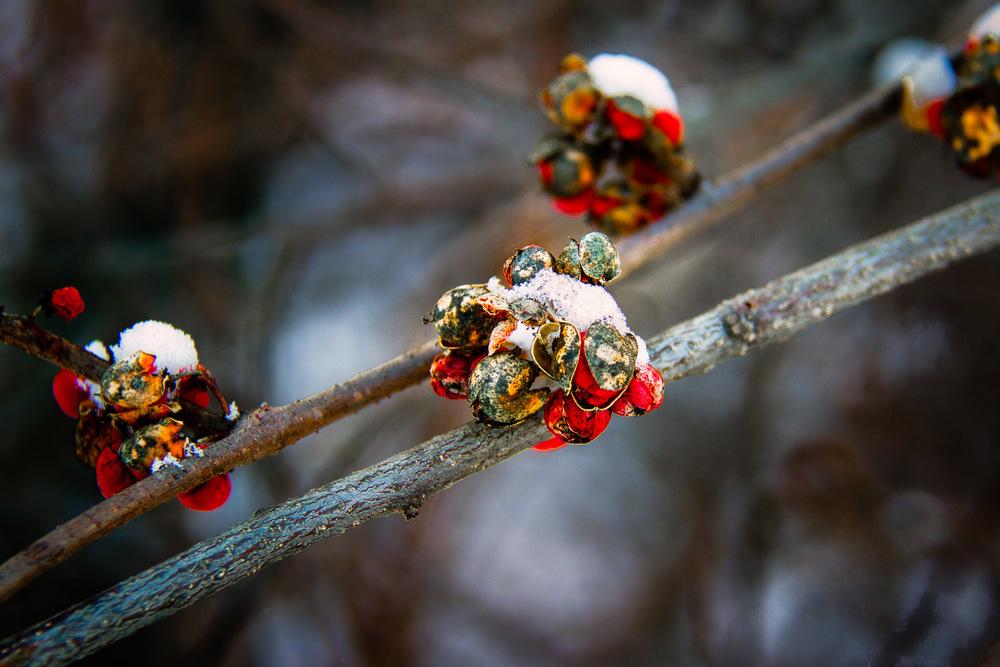 Snow On Berries Wellesley, Massachusetts