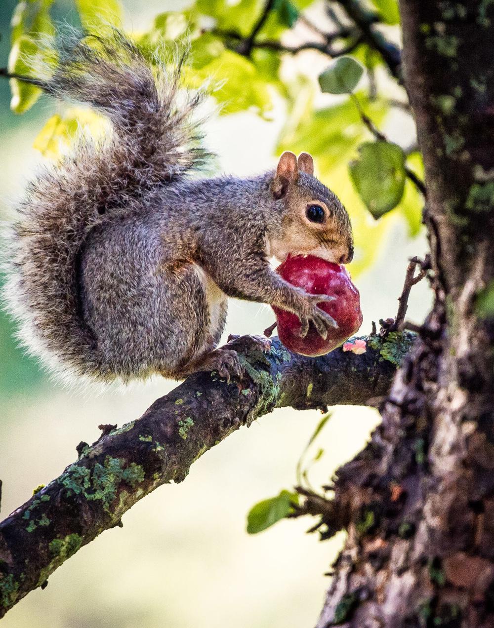 Big Apple, Little Squirrel Lincoln, Massachusetts