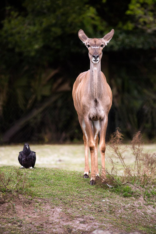 Young-Bongo-And-Vulture-At-Zoo-Stare-At-Camera.jpg
