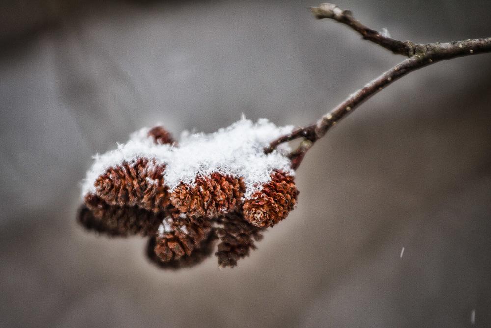 Snow Dusted Pine Cones Natick, MAssachusetts
