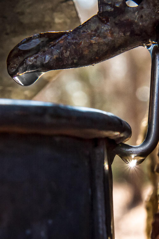 Sap Drip Sherborn, Massachusetts