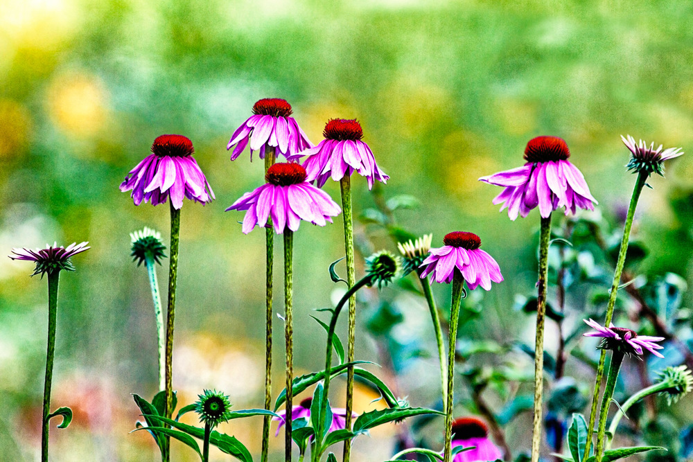 Pink-And-Red-Coneflowers-In-Field.jpg