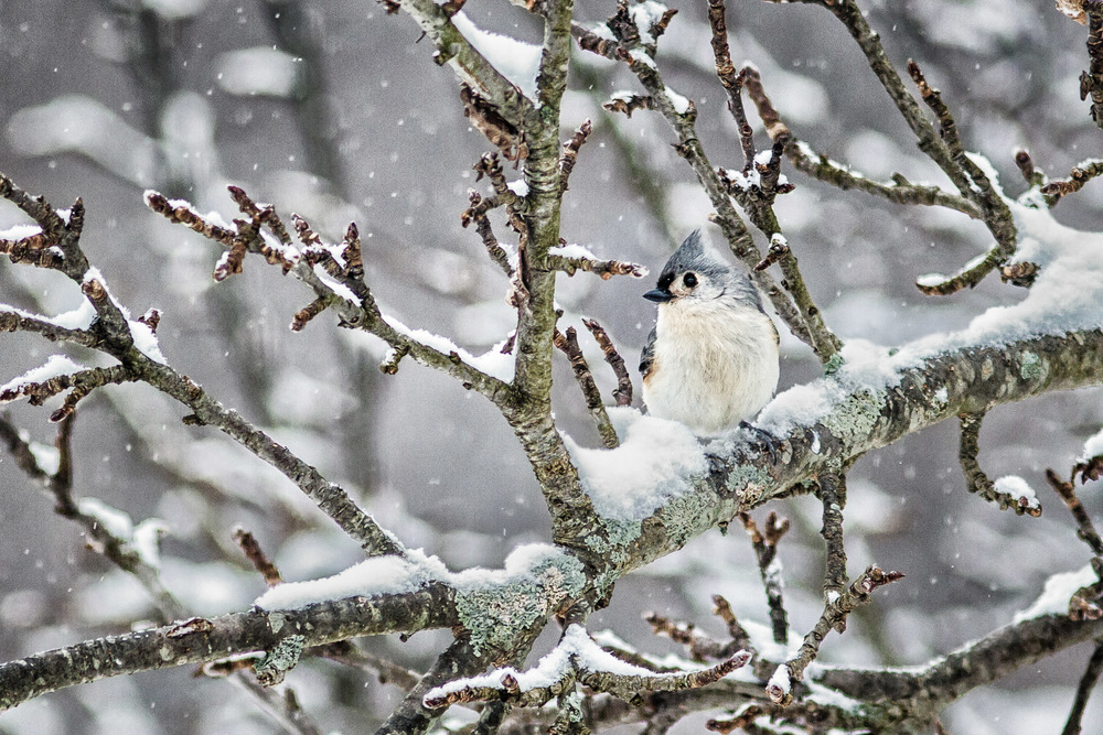 Blue Jay's First Snow Lincoln, Massachusetts