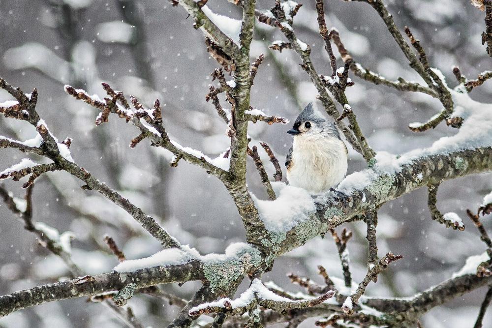 Blue Jay's First Snow Amherst, Massachusetts