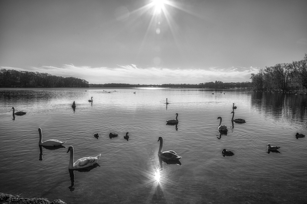 Swans-On-Pond-Under-Bright-Sun-BW.jpg