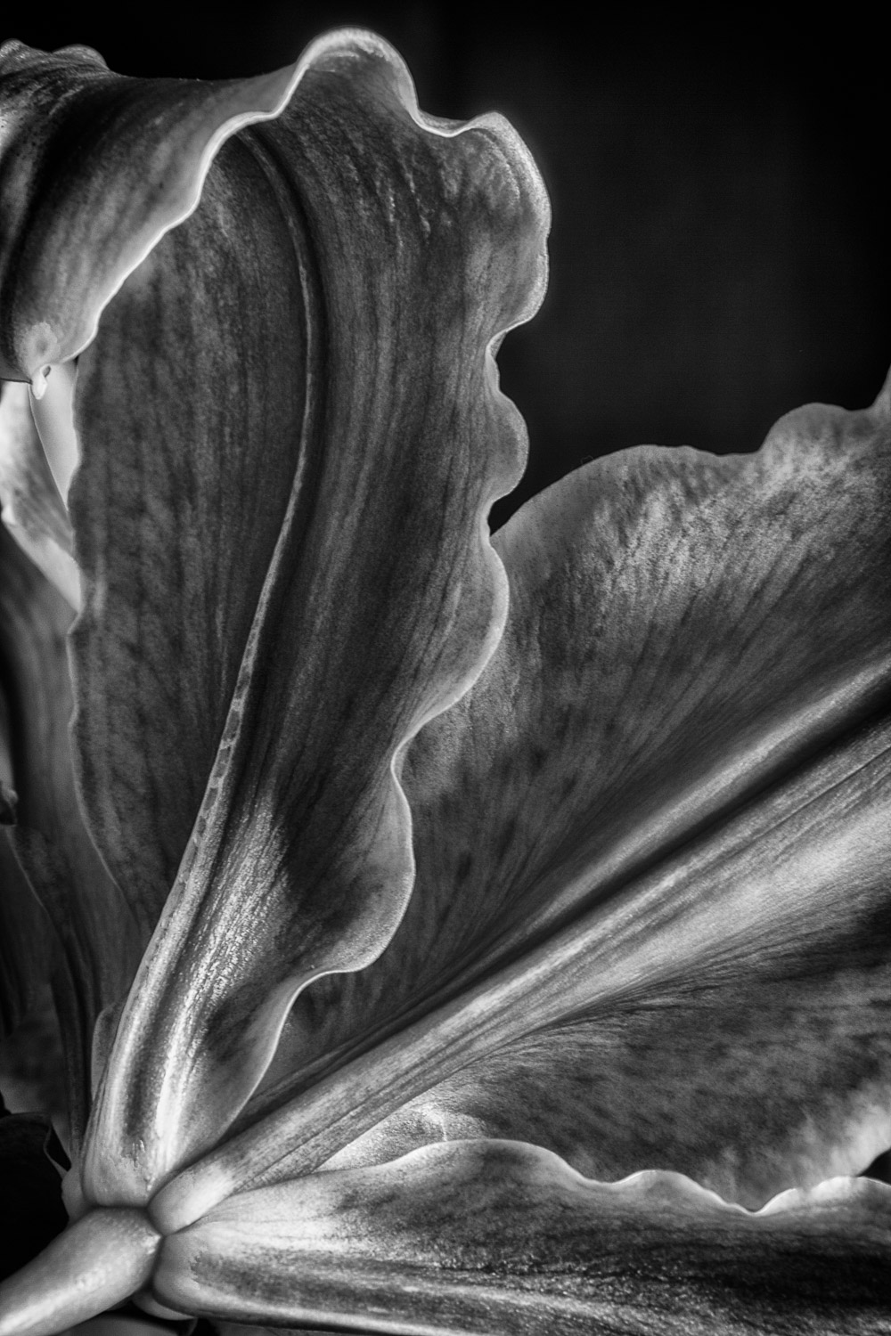 Tulip-Leaf-Curled-Close-Up-BW.jpg