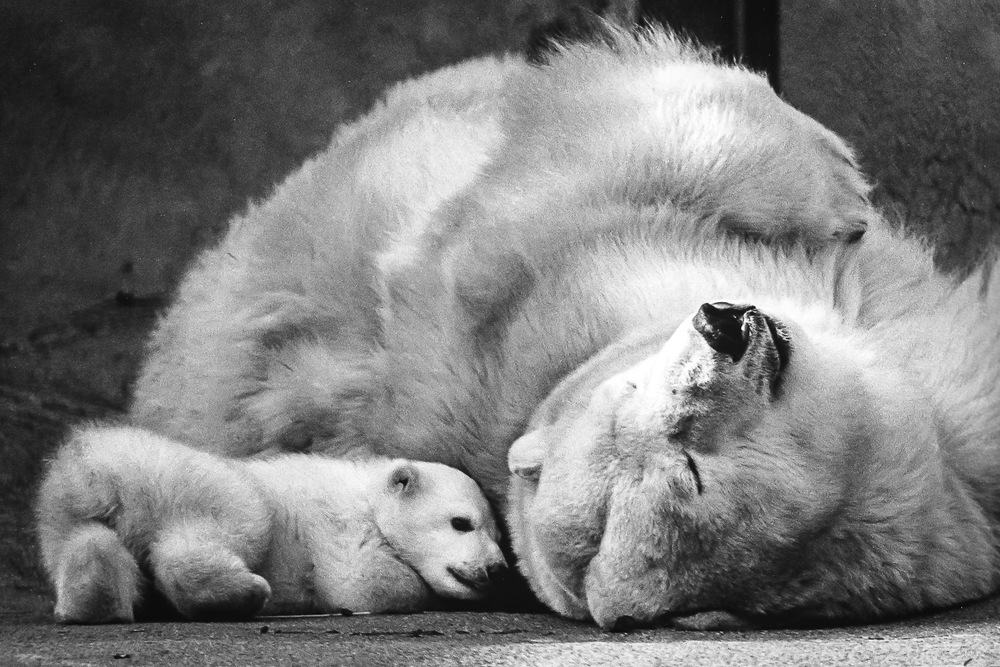 Polar-Bear-Mother-And-Baby-BW.jpg
