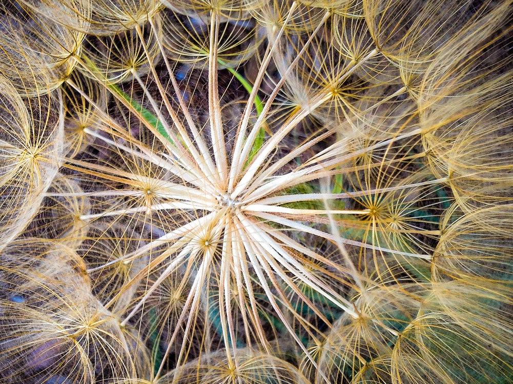 Dandelion-Top.jpg