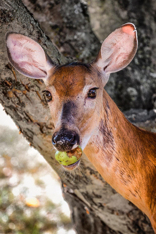 Apple Snack   Midfield, Massachusetts
