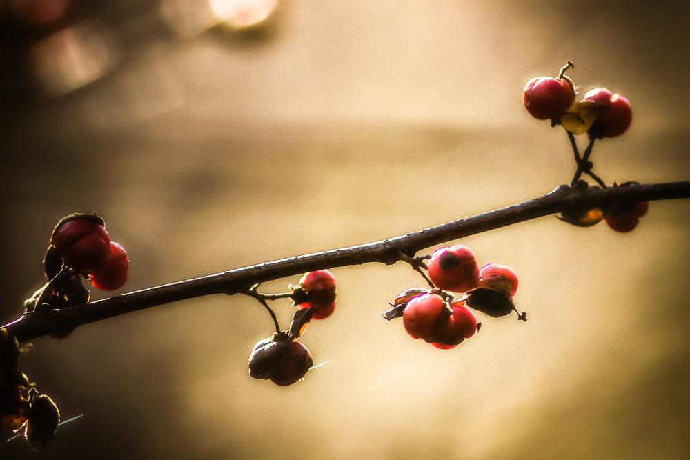Winterberries Dover, Massachusetts