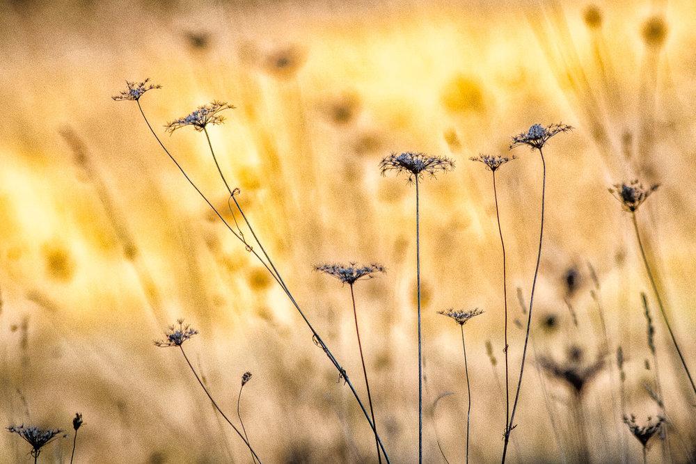 Field Grasses Lincoln, Massachusetts